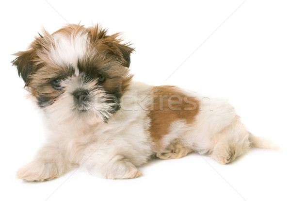 shih tzu puppy Stock photo © cynoclub