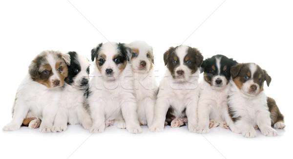 子犬 オーストラリア人 羊飼い 白 犬 動物 ストックフォト © cynoclub
