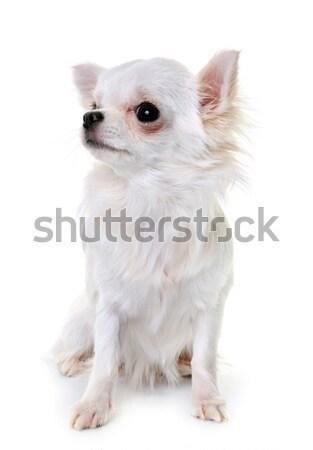 adult maltese dog Stock photo © cynoclub