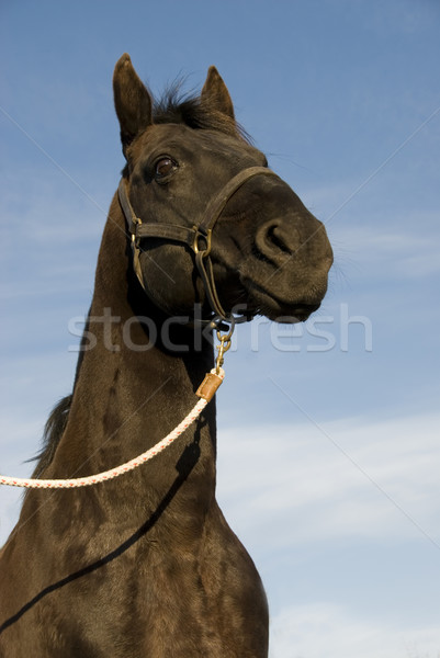 black beauty Stock photo © cynoclub