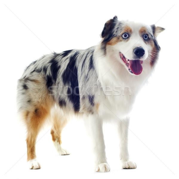 Foto stock: Australiano · pastor · branco · cão · olhos