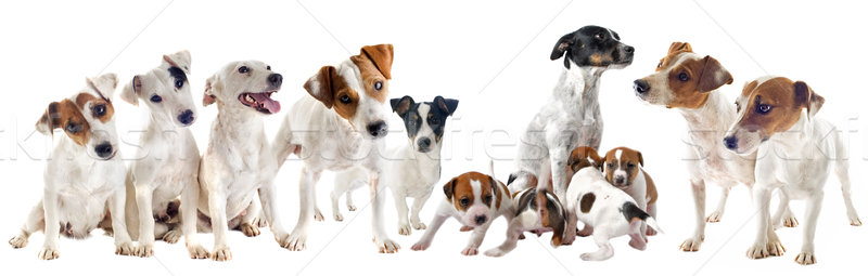 jack russel terriers Stock photo © cynoclub