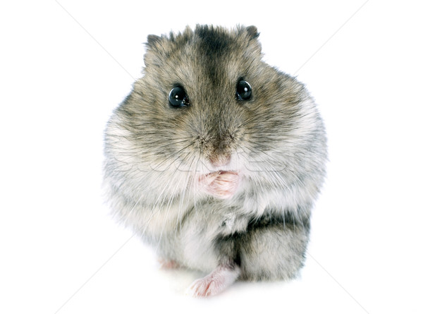 russian hamster Stock photo © cynoclub