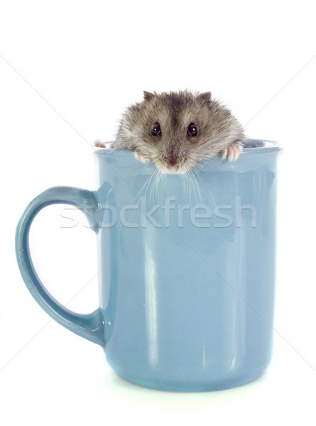 russian hamster in cup Stock photo © cynoclub