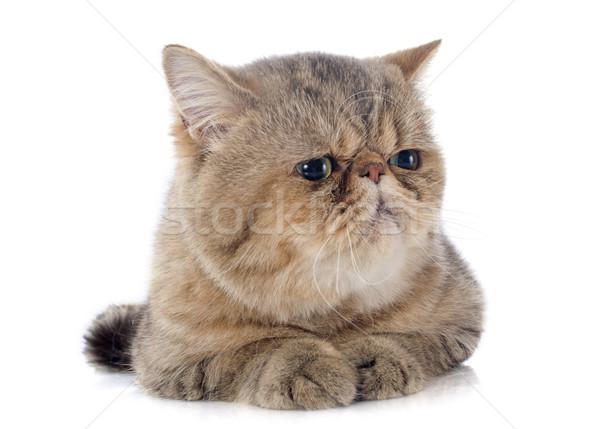 エキゾチック ショートヘア 猫 白 スタジオ ペット ストックフォト © cynoclub