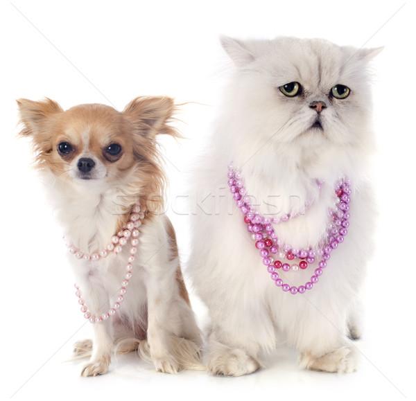 белый персидская кошка собака кошки Pearl ПЭТ Сток-фото © cynoclub