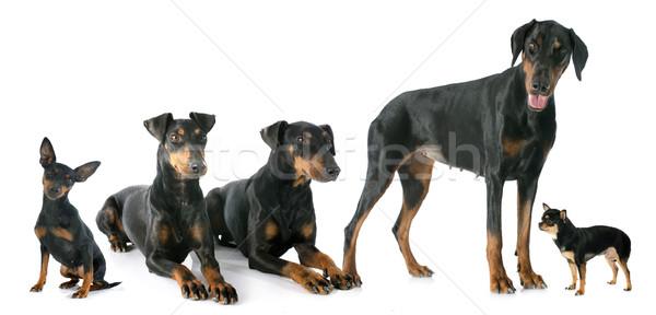Fekete kutyák fehér női állat férfi Stock fotó © cynoclub