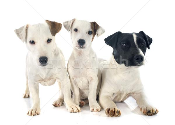 three jack russel terrier Stock photo © cynoclub