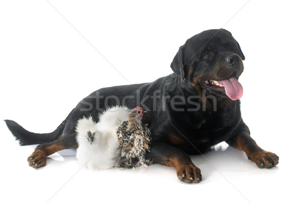 rotweiler and chicken Stock photo © cynoclub