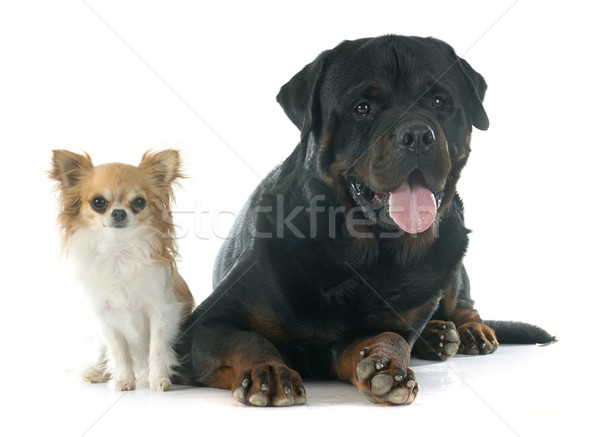 Photo stock: Rottweiler · animaux · Homme · isolé · adulte