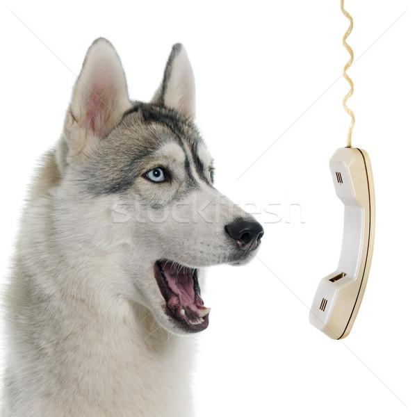серый Husky призыв белый бизнеса собака Сток-фото © cynoclub