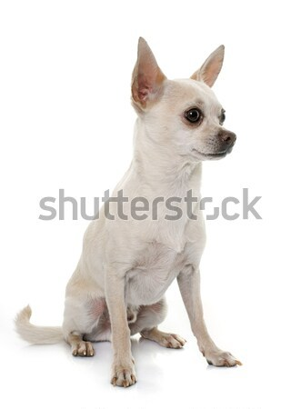 Cheveux courts chien blanche animaux Homme adulte Photo stock © cynoclub
