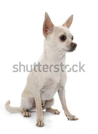 Kurze Haare Hund weiß Tier männlich Erwachsenen Stock foto © cynoclub