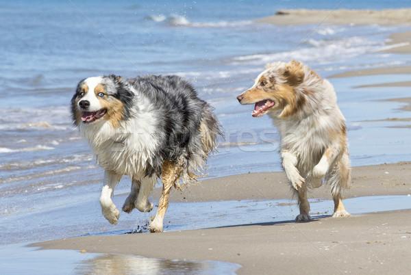 演奏 犬 ビーチ 2 オーストラリア人 一緒に ストックフォト © cynoclub