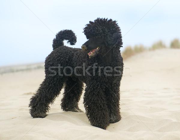 Foto stock: Poodle · praia · preto · areia · da · praia · areia · cachorro