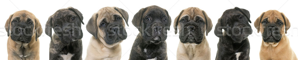 щенки бык дог белый группа портрет Сток-фото © cynoclub
