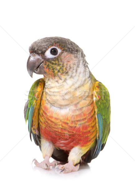 conure in studio Stock photo © cynoclub