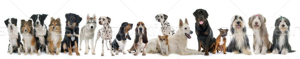 group of dogs Stock photo © cynoclub