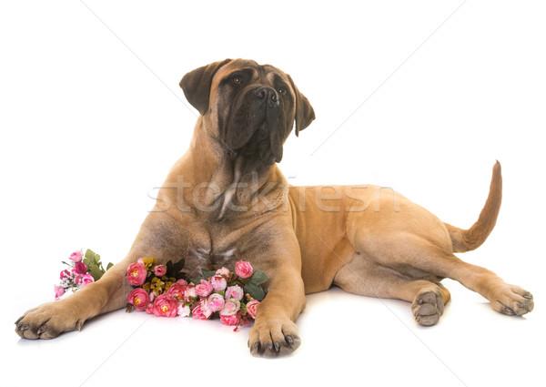 Köpek yavrusu boğa mastı köpek hayvan evcil hayvan Stok fotoğraf © cynoclub