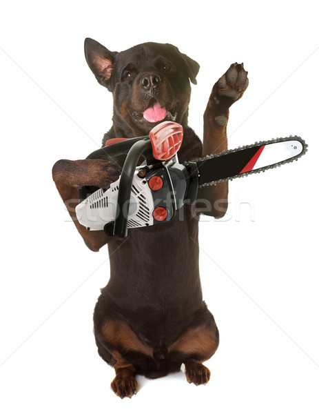 rottweiler and chainsaw Stock photo © cynoclub