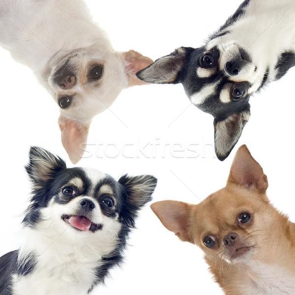 группа собака голову вместе ПЭТ изолированный Сток-фото © cynoclub