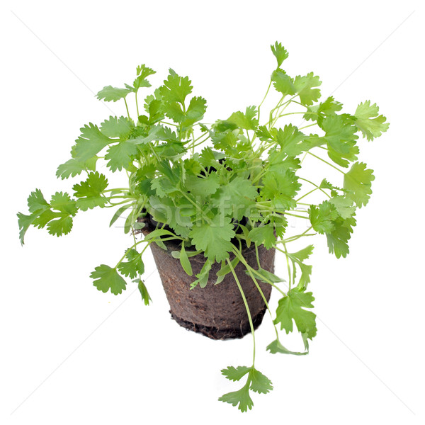 cilantro in pot isolated Stock photo © cynoclub
