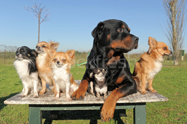 Photo stock: Rottweiler · portrait · cute · groupe · jeunes