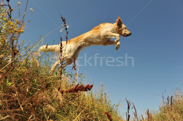 jumping dog Stock photo © cynoclub