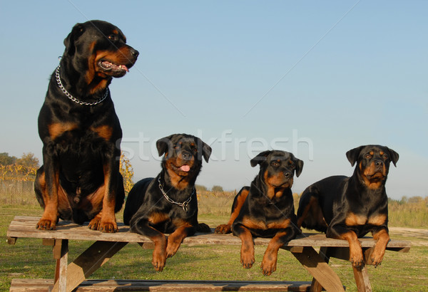 four rottweilers Stock photo © cynoclub