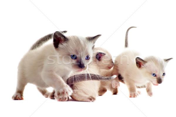 котенка красивой белый кошки синий Сток-фото © cynoclub