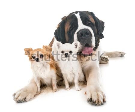 Szczeniak psa portret berneński pies pasterski młodych studio Zdjęcia stock © cynoclub