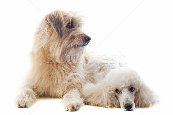 Pyrenean sheepdog and poodle Stock photo © cynoclub