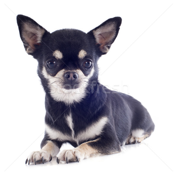 Kort haar portret cute puppy zwarte Stockfoto © cynoclub