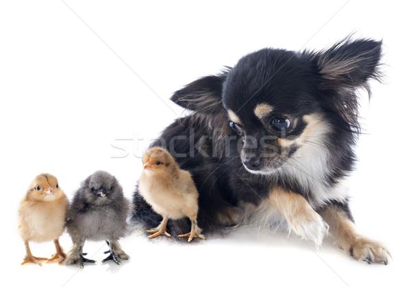 Genç civciv bebek köpek arkadaşlar kuş Stok fotoğraf © cynoclub