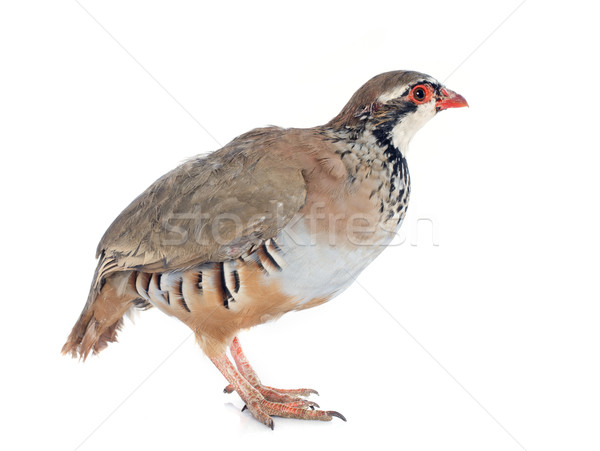 French Partridge, Alectoris rufa Stock photo © cynoclub
