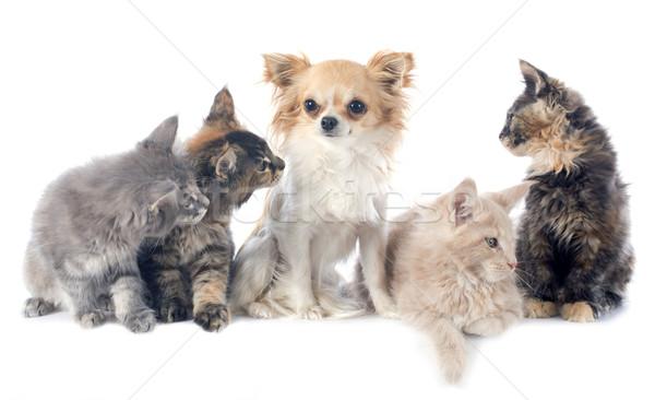 Maine kitten portret hond kat Stockfoto © cynoclub