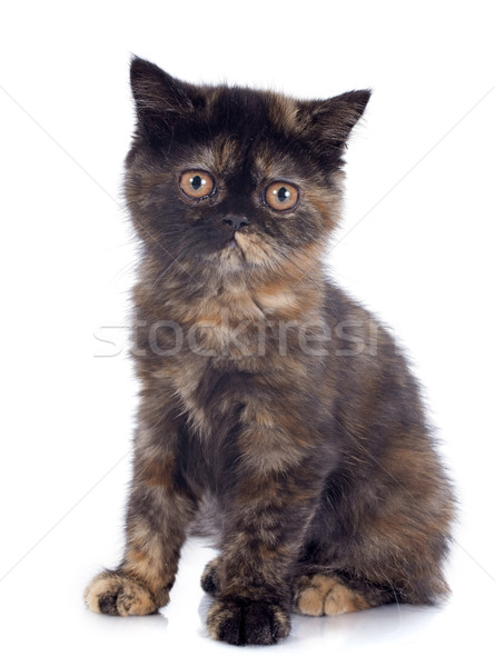 Exotic Shorthair kitten Stock photo © cynoclub