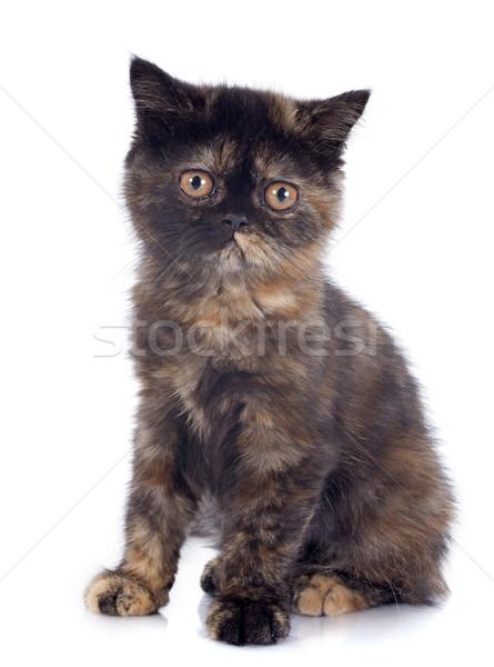 エキゾチック ショートヘア 子猫 白 ストックフォト © cynoclub