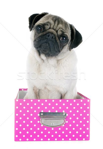 young pug in box Stock photo © cynoclub