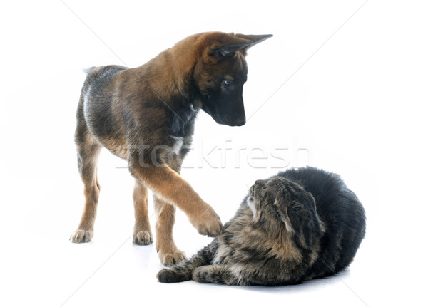 puppy malinois and maine coon Stock photo © cynoclub