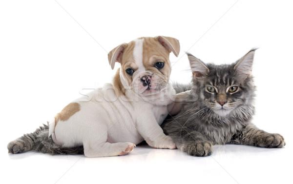 Stockfoto: Puppy · frans · bulldog · kat · Maine · witte