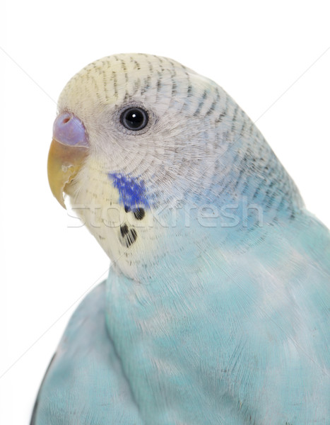 young blue budgerigar Stock photo © cynoclub