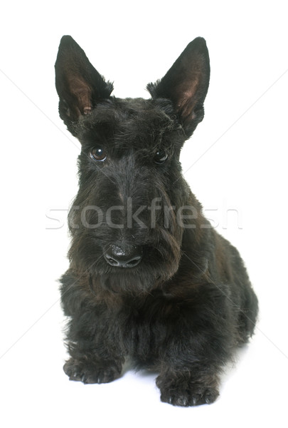 young scottish terrier Stock photo © cynoclub