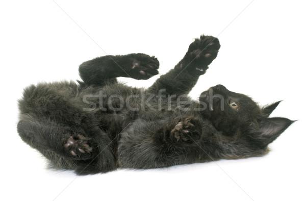 Maine kitten kat Maakt een reservekopie zwarte Stockfoto © cynoclub