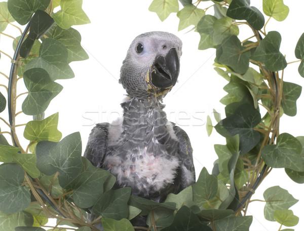 Baby grijs papegaai klimop witte blad Stockfoto © cynoclub