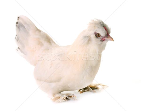 white Sultan chicken Stock photo © cynoclub