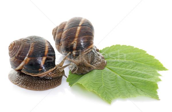 Estudio naturaleza comer animales caracol fondo blanco Foto stock © cynoclub