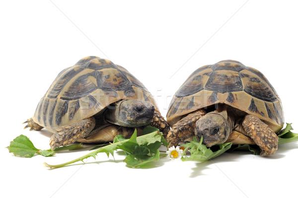 Tortoises eating Stock photo © cynoclub