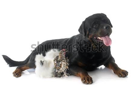 сидят белый собака черный Сток-фото © cynoclub