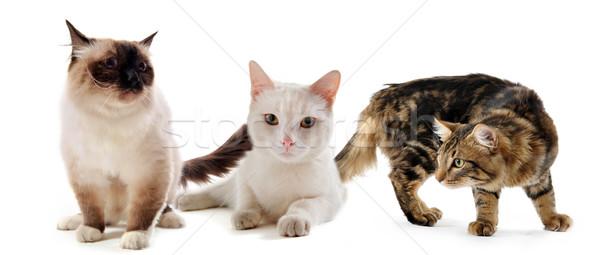 Stok fotoğraf: üç · kediler · kedi · beyaz · hayvan